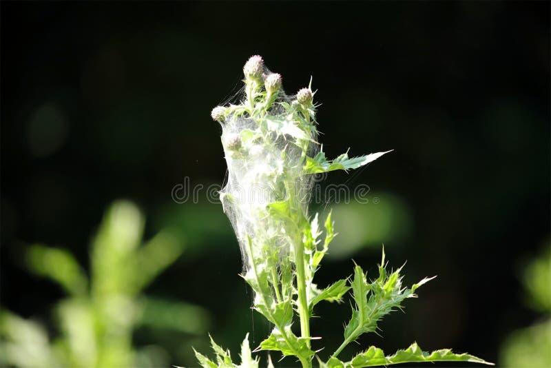 Web del ácaro de araña en una planta del cardo fotos de archivo