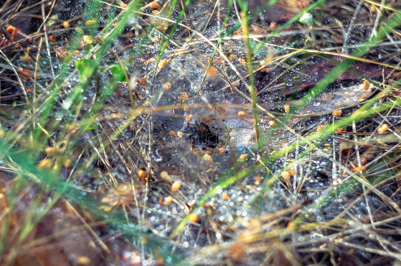 A web with dew drops. After the rain and spider burrow in the center of the web royalty free stock photos