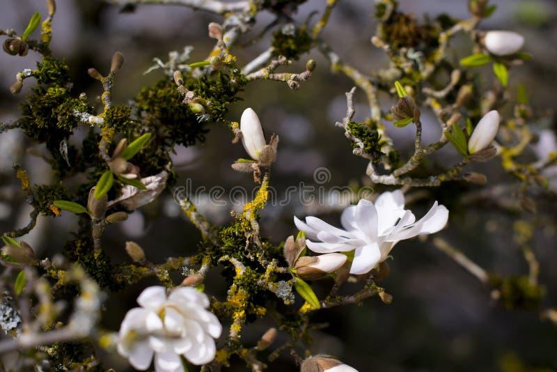 Web dos galhos das flores em botão da magnólia imagem de stock royalty free
