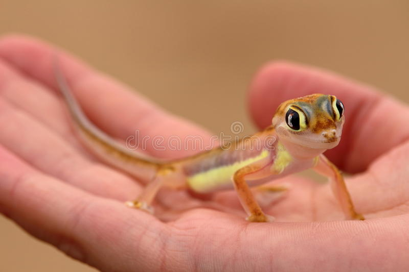 Web-footed Gecko, Palmatogecko (Pachydactylus rangei). Palmatogecko (Pachydactylus rangei), also known as Web-footed Gecko, a nocturnal gecko endemic to the royalty free stock images