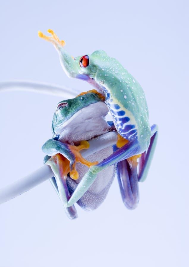 Web frog royalty free stock image