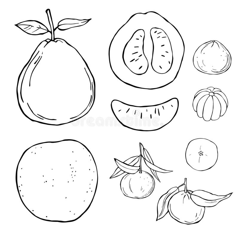 Pomelo and tangerine.  Vector sketch  illustration. Hand drawn fruits on white background. Pomelo and tangerine. Vector sketch  illustration vector illustration