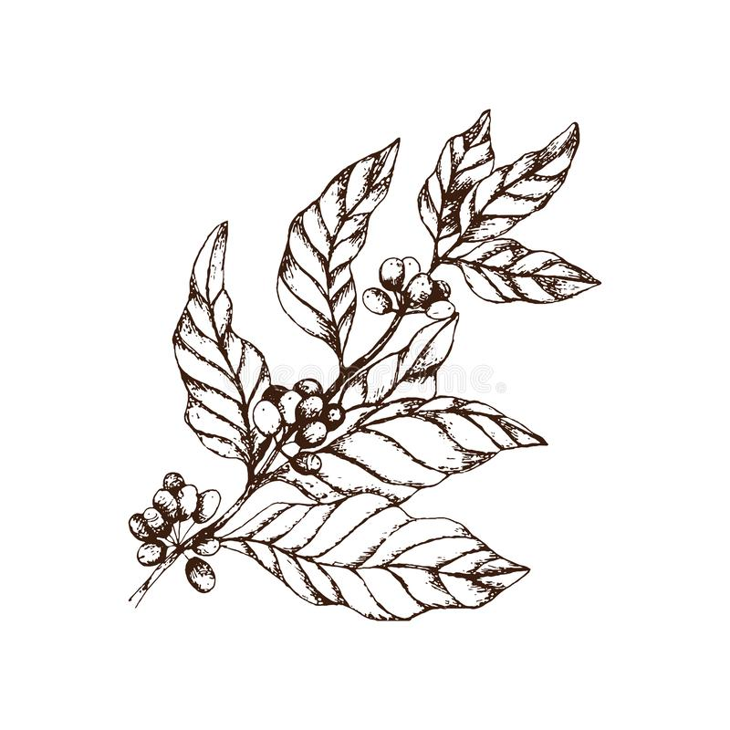 Hand drawn vintage big coffee-tree branch with coffee berries and leaves. vector illustration