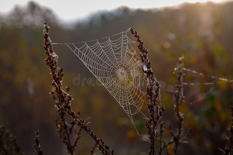 web hermosas de la mazorca de la araña en pantano en último otoño con descensos del revelador de la mañana imagen de archivo