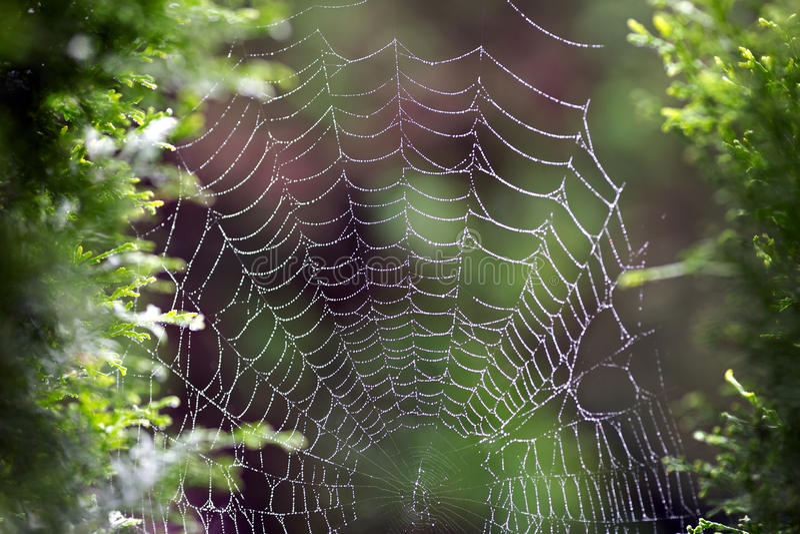 Web humide de ` d'araignée photos libres de droits