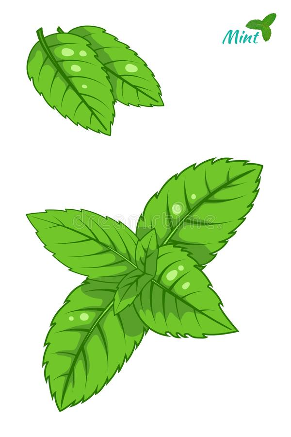 Mint leaf, peppermint green leaves set isolated on white background. royalty free illustration