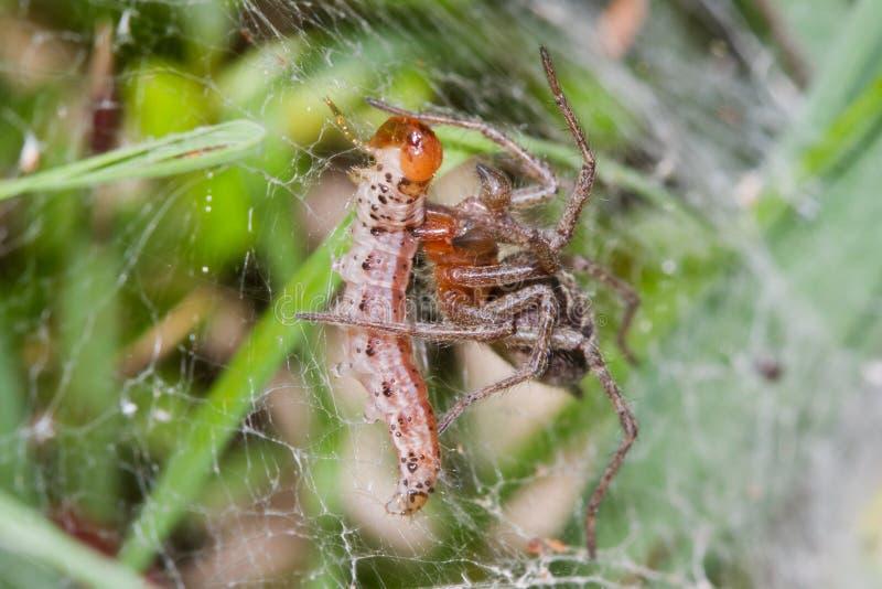 Web spider con la preda immagine stock libera da diritti