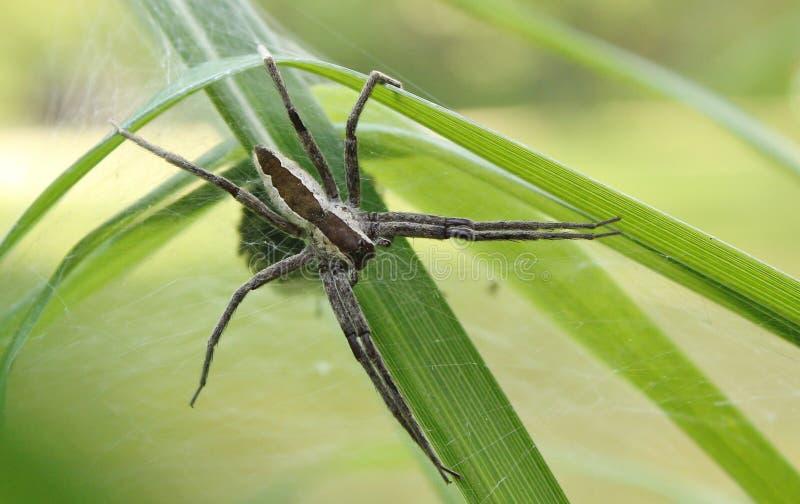 Web spider de crèche photo libre de droits