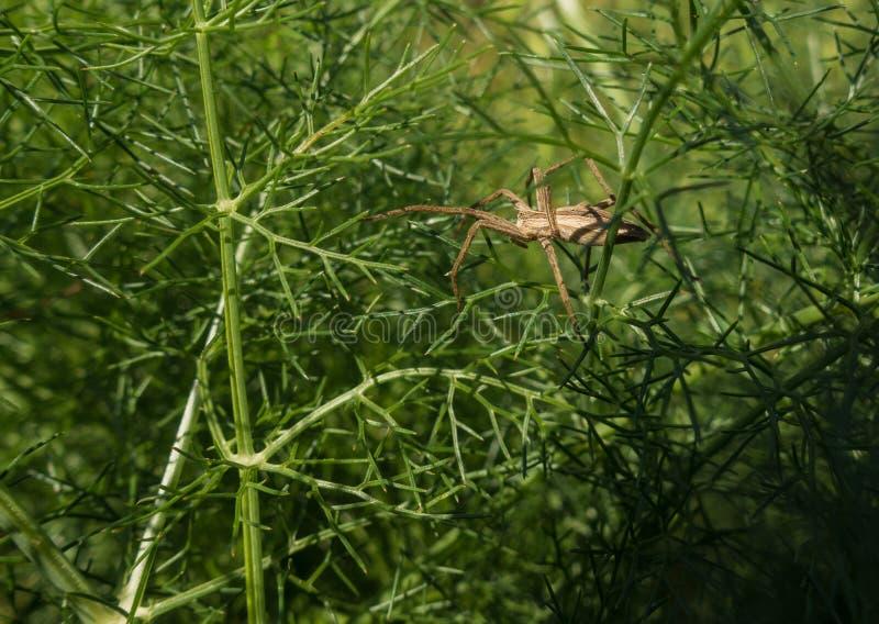 Web spider de Nursey d'Européen se cachant à l'usine de fenouil photo libre de droits