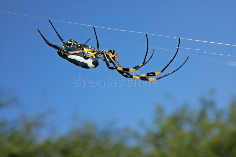 Web spider de oro de orbe imagenes de archivo