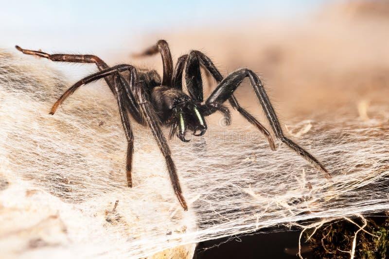 Web spider de tube, Web spider vert-fanged de tube, florentina de Segestria photo stock