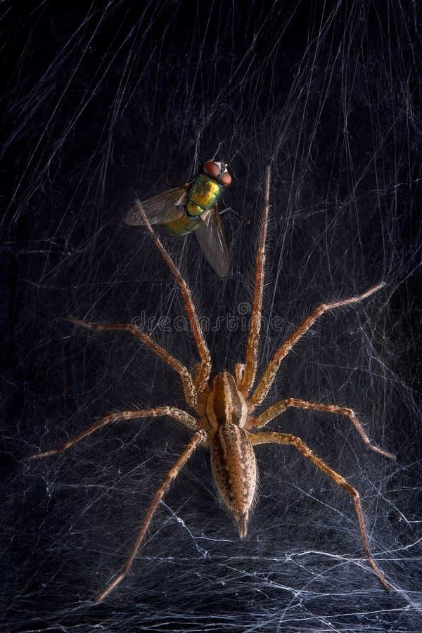 Web spider y mosca de embudo imagen de archivo libre de regalías