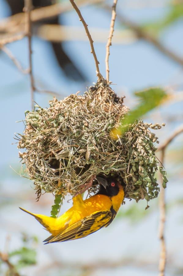 Webervogel, der ein Nest aufbaut lizenzfreies stockbild