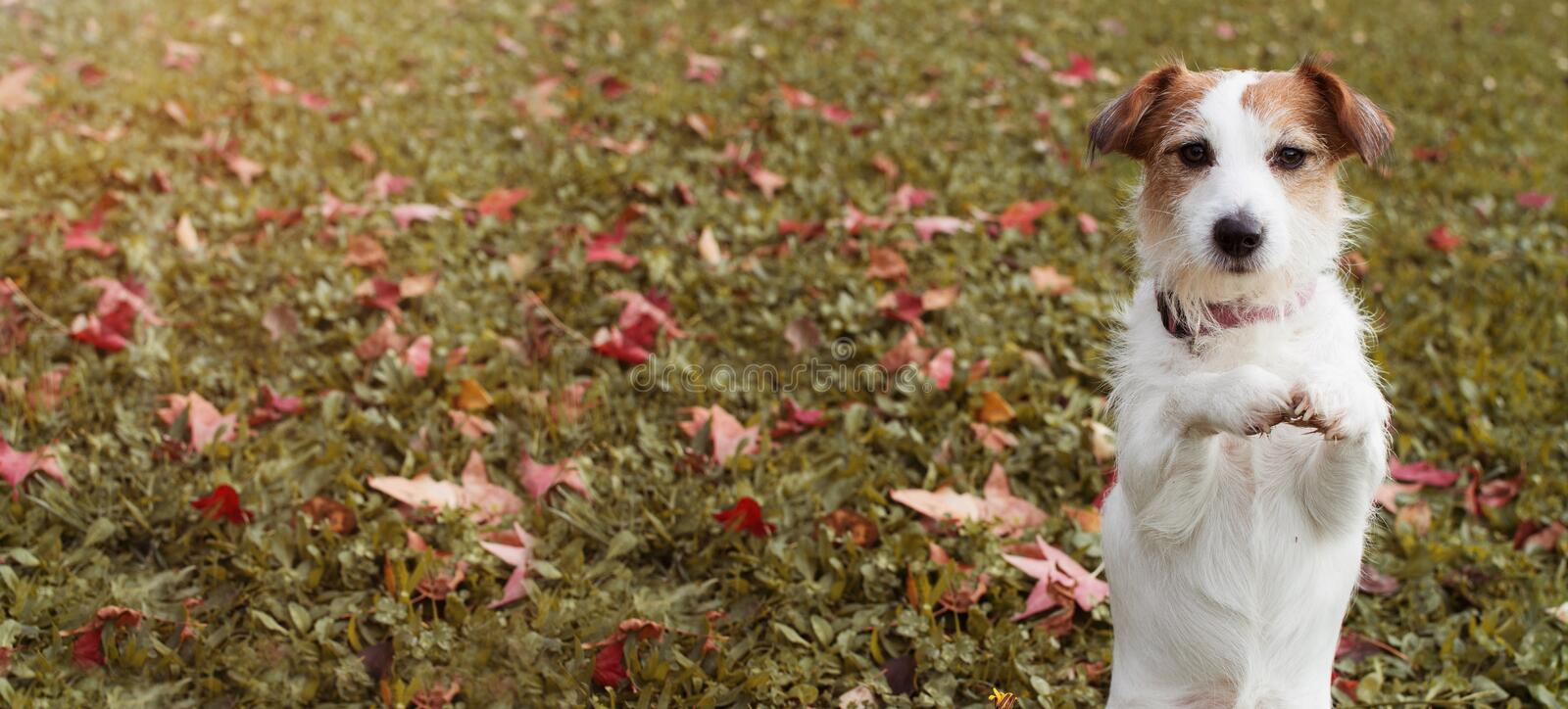 WEBSIDE BANNER AUTUMN DOG. JACK RUSSELL PUPPY STANDING ON TWO HIND LEGS AND PRAYING WITH ITS FRONT PAWS ON FALL LEAVES GRASS royalty free stock photography