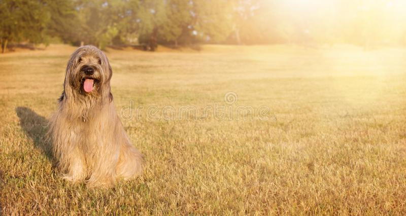 WEBSIDE BANNER HAPPY DOG. PORTRAIT FURRY CATALAN SHEPHERED SITTING ON GRASS IN THE SUMMER HEAT WITH TONGUE OUT stock photos