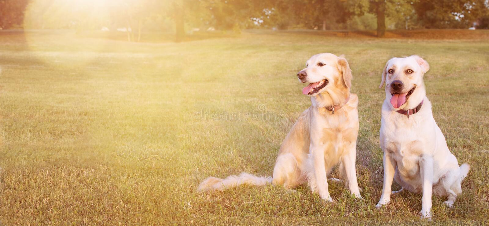 WEBSIDE BANNER TWO FUNNY HAPPY DOGS LABRADOR AND GOLDEN RETRIEVER SITTING IN THE GRASS ON SUMMER HEAT royalty free stock photos