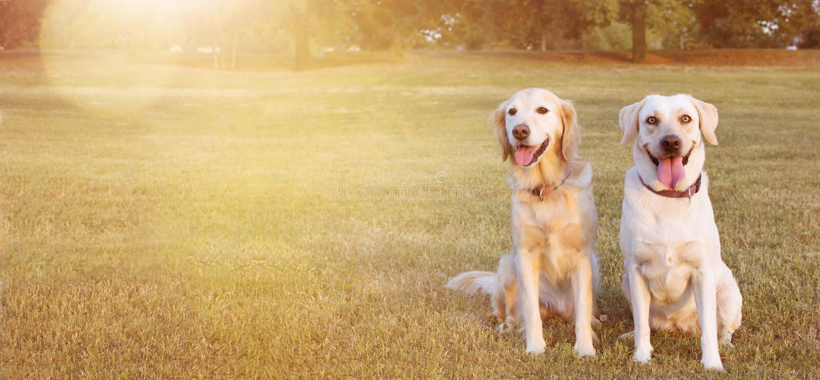 WEBSIDE BANNER TWO HAPPY DOGS LABRADOR AND GOLDEN RETRIEVER SITTING IN THE GRASS ON SUMMER HEAT royalty free stock images
