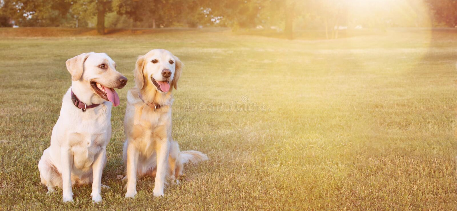WEBSIDE BANNER TWO HAPPY DOGS LABRADOR AND GOLDEN RETRIEVER SITTING IN THE YELLOW GRASS ON SUMMER HEAT stock photo