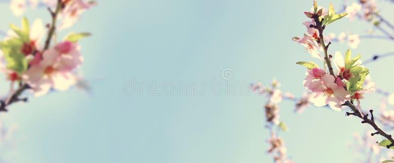 websitebanerbakgrund av av trädet för körsbärsröda blomningar för vår det vita Selektivt fokusera arkivfoton