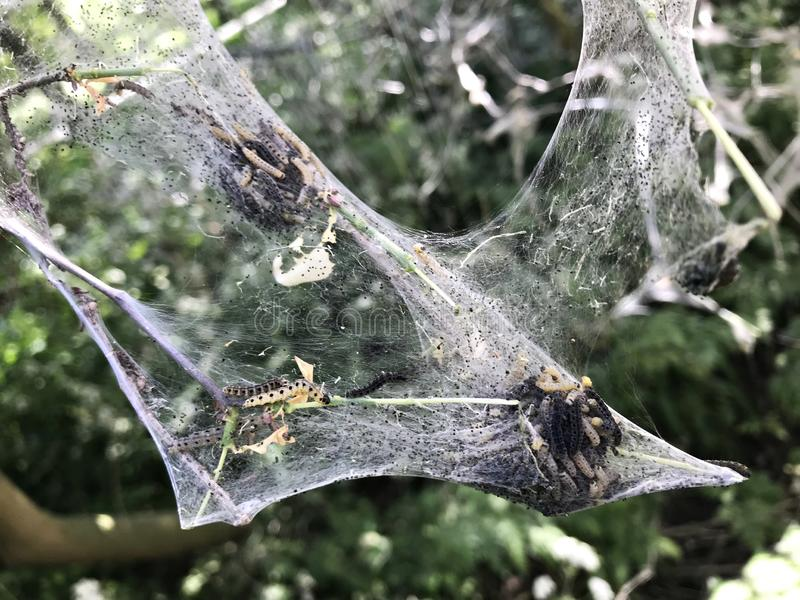 Webworm caterpillars visible inside the nest. Tent caterpillars or moth larvae, belonging to the genus Malacosoma in the family Lasiocampidae stock image