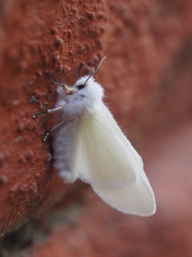 Webworm di caduta - parassita comune del giardino immagini stock