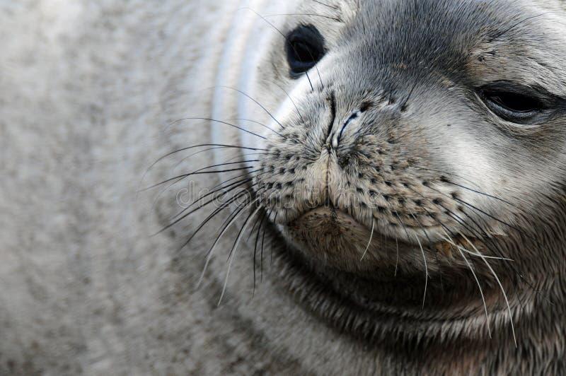 Weddel Seal Stock Photo