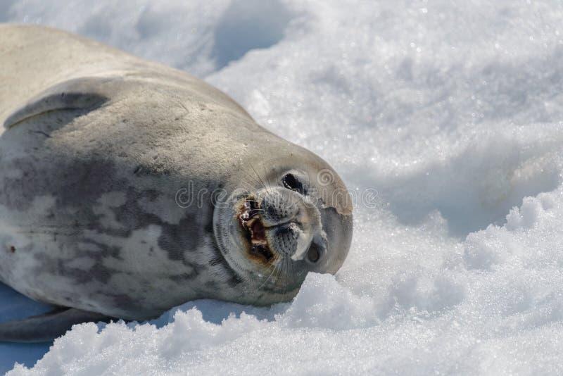 Weddel skyddsremsa på stranden med insnöade Antarktis arkivbilder