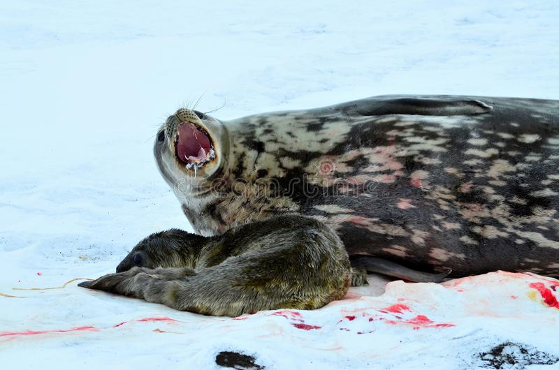 Weddell封印在Atartica 免版税库存照片