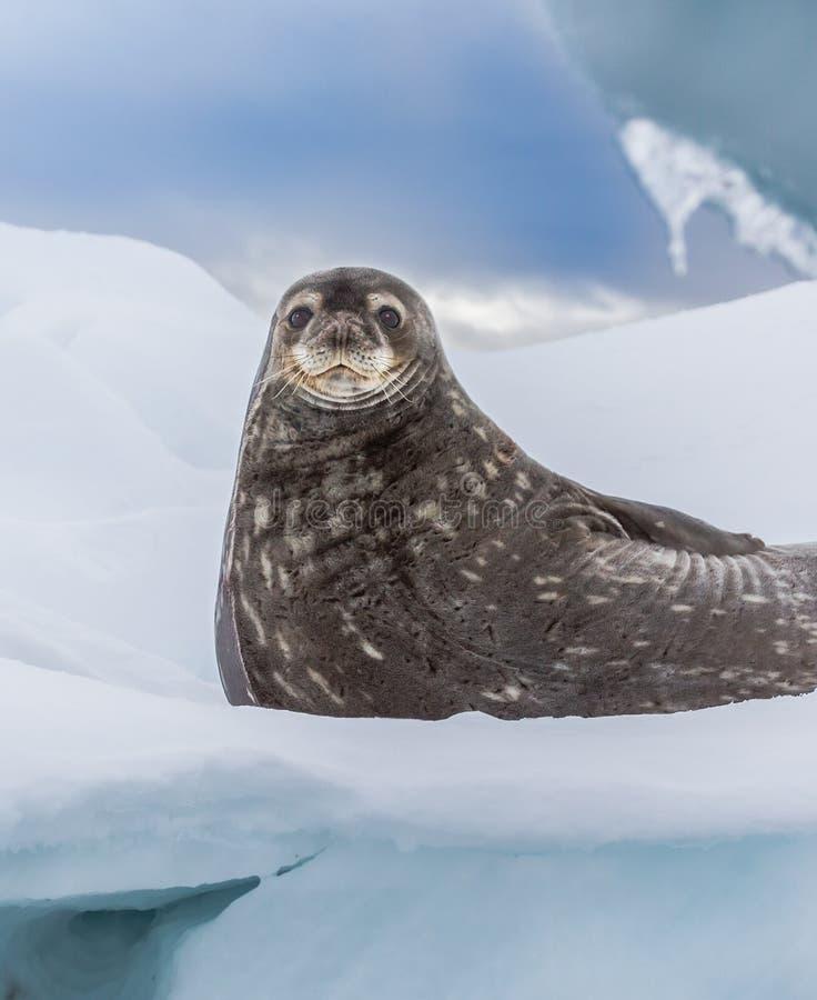 Weddell封印基于冰袋在南极洲 免版税库存照片