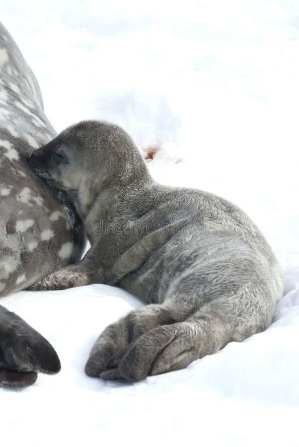Weddell小海豹挤奶分泌乳汁。 图库摄影