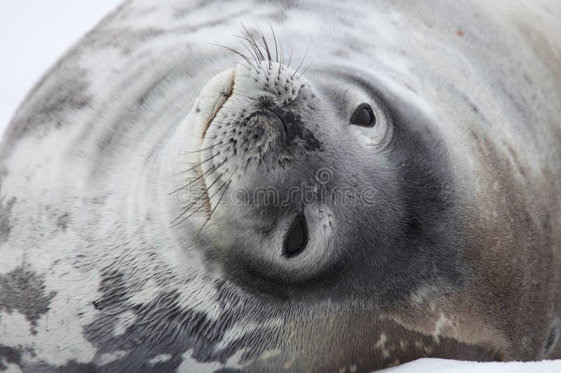 weddell уплотнения Антарктики стоковая фотография