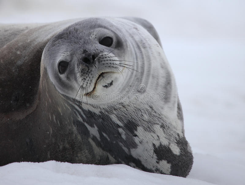 Weddell Dichtung von Antarktik