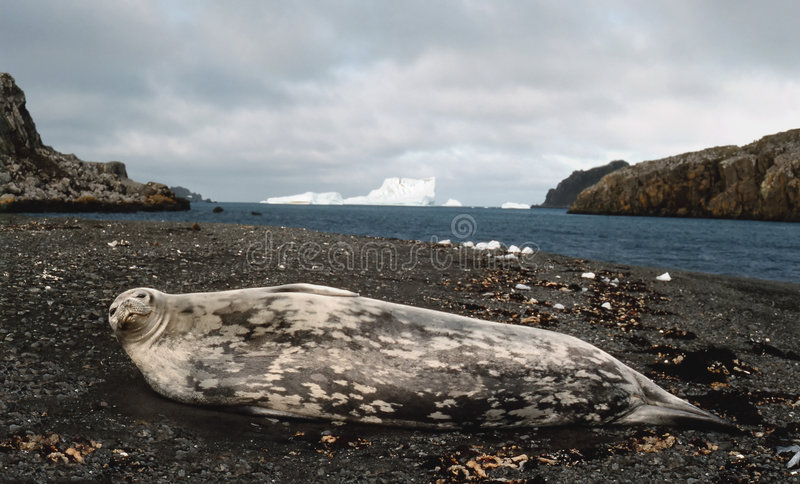 Weddell seal royalty free stock image
