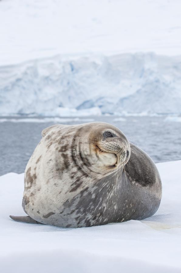 Weddell seal on an iceberg in Antarctic Peninsula. Weddell seal in antarctic peninsula stock photo