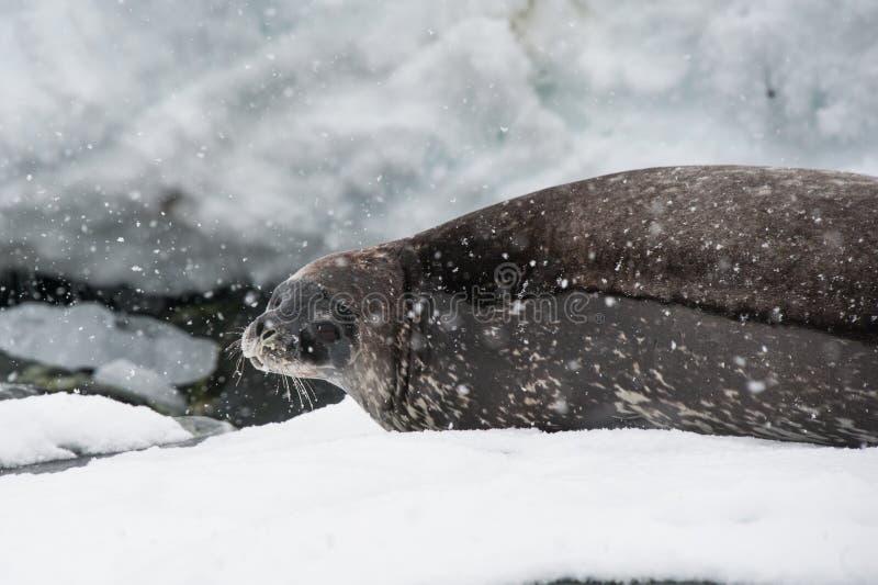 Weddell Seal On The Beach Stock Photos