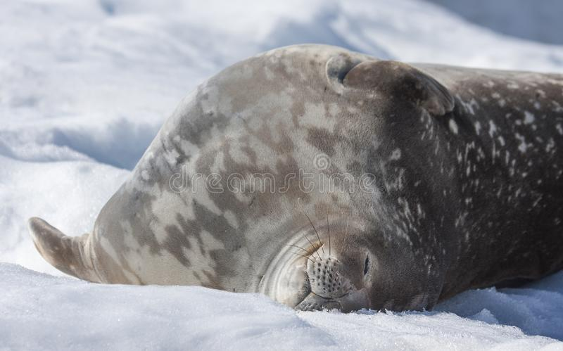 Weddell seal on an iceberg in Antarctic Peninsula. Weddell seal in antarctic peninsula royalty free stock image