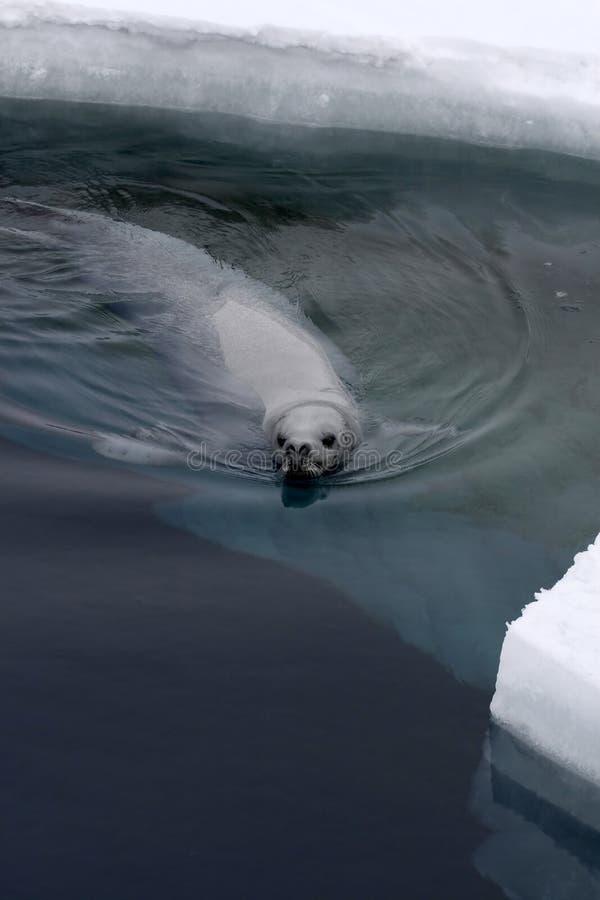Download Weddell Seal (Leptonychotes Weddellii) Stock Image - Image: 10523265