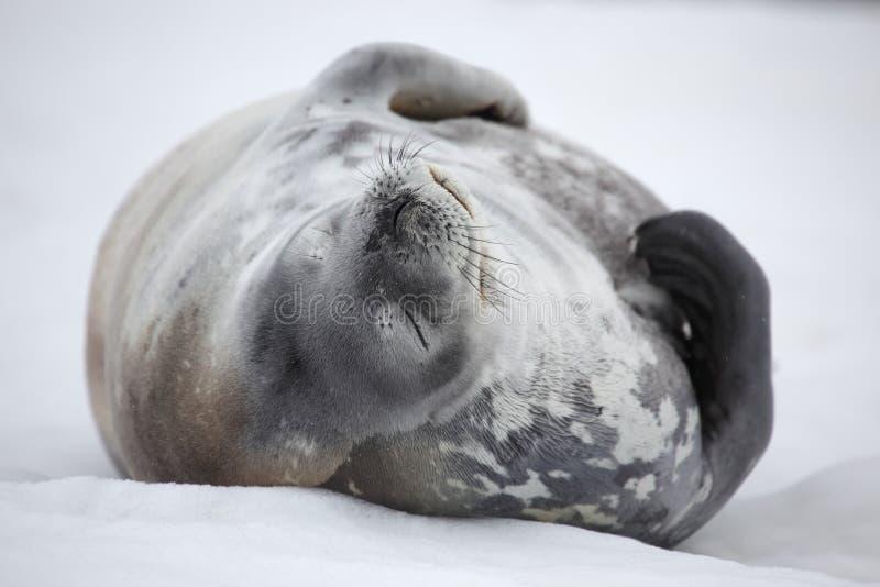 Weddell seal napping, Antarctica royalty free stock photo