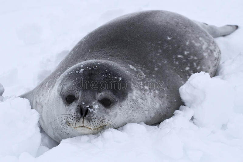 Download Weddell Seal Pup In The Snow Stock Image - Image: 41728497