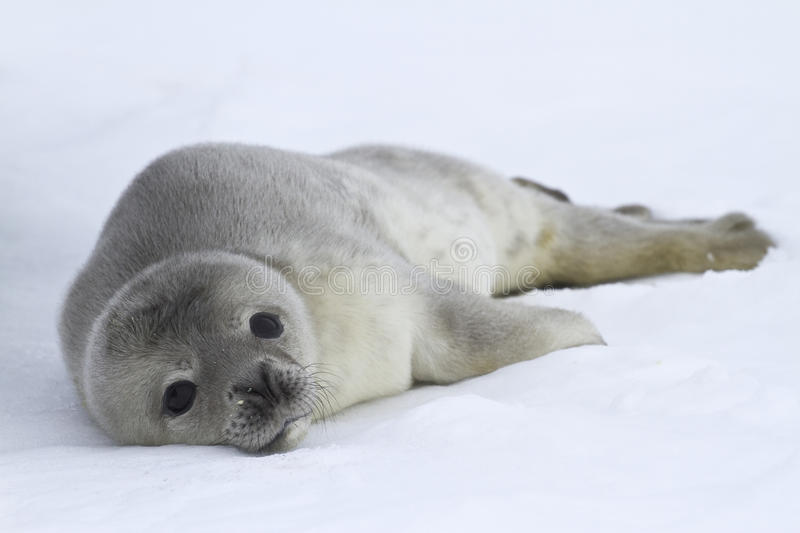Download Weddell Seal Pups Which Lies On The Ice Stock Image - Image of snow, whales: 41375459