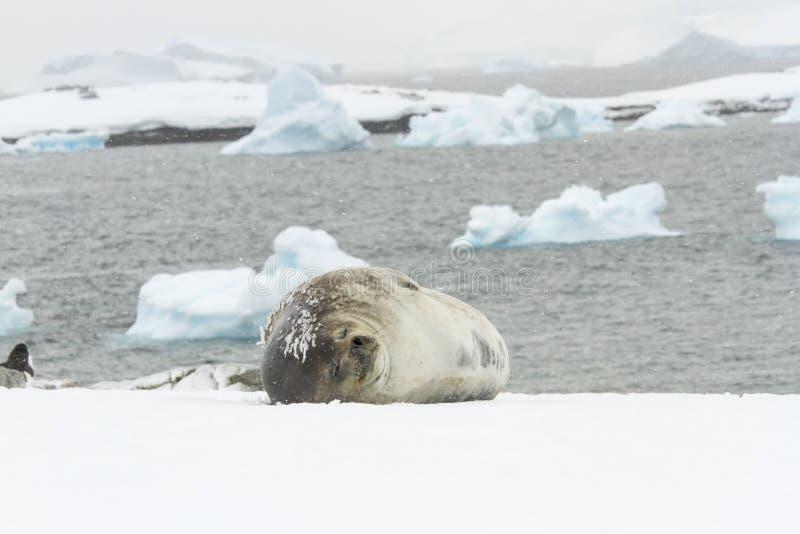 Weddell seal sleeping Ronge Island, Antarctica royalty free stock photography