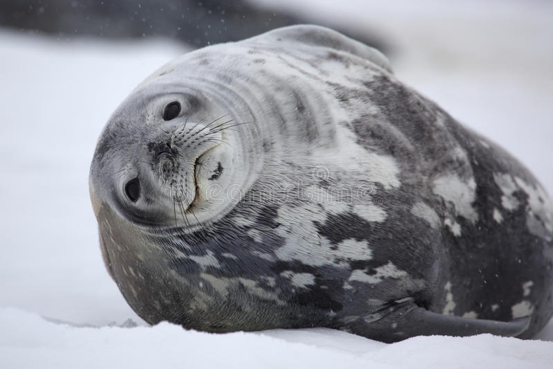Weddell seal in snowy weather, Antarctica stock photo
