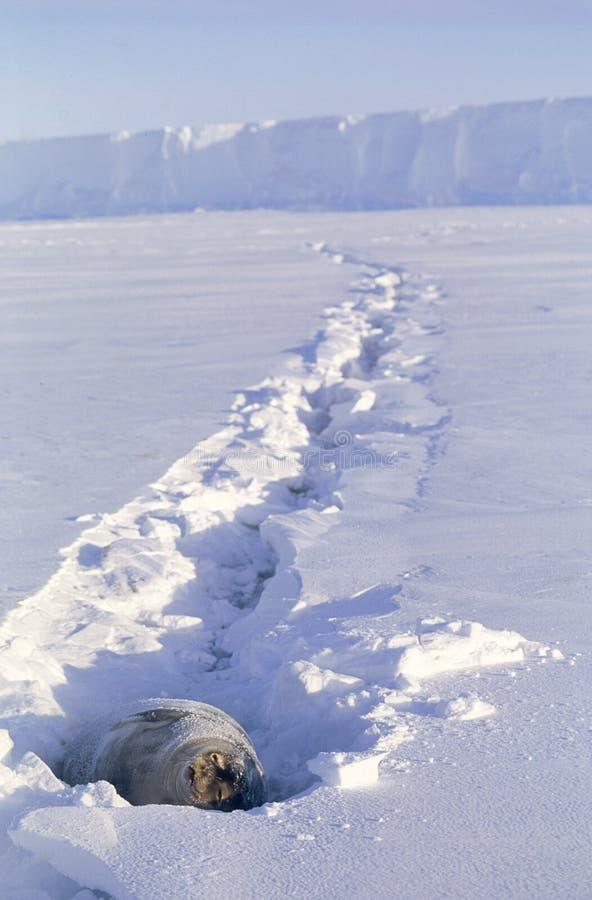 Weddell Seal sunbathing royalty free stock photography