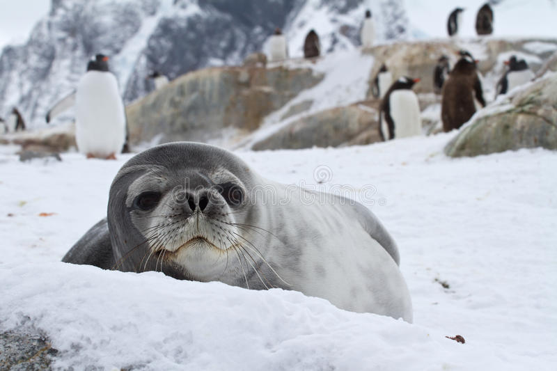 Weddell Seal Which Looks Out Over The Snowy Stock Photo