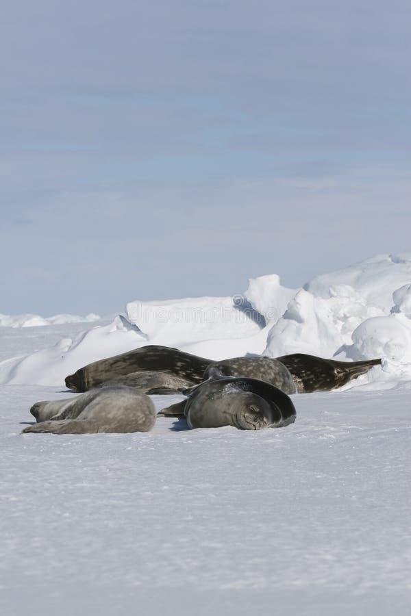 Download Weddell Seals (Leptonychotes Weddellii) Stock Photo - Image: 10523214