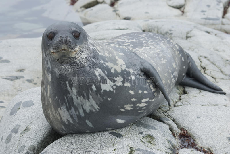 Download Weddell Seals On The Rocks Of The Islands. Stock Image - Image of nature, weddell: 28643207