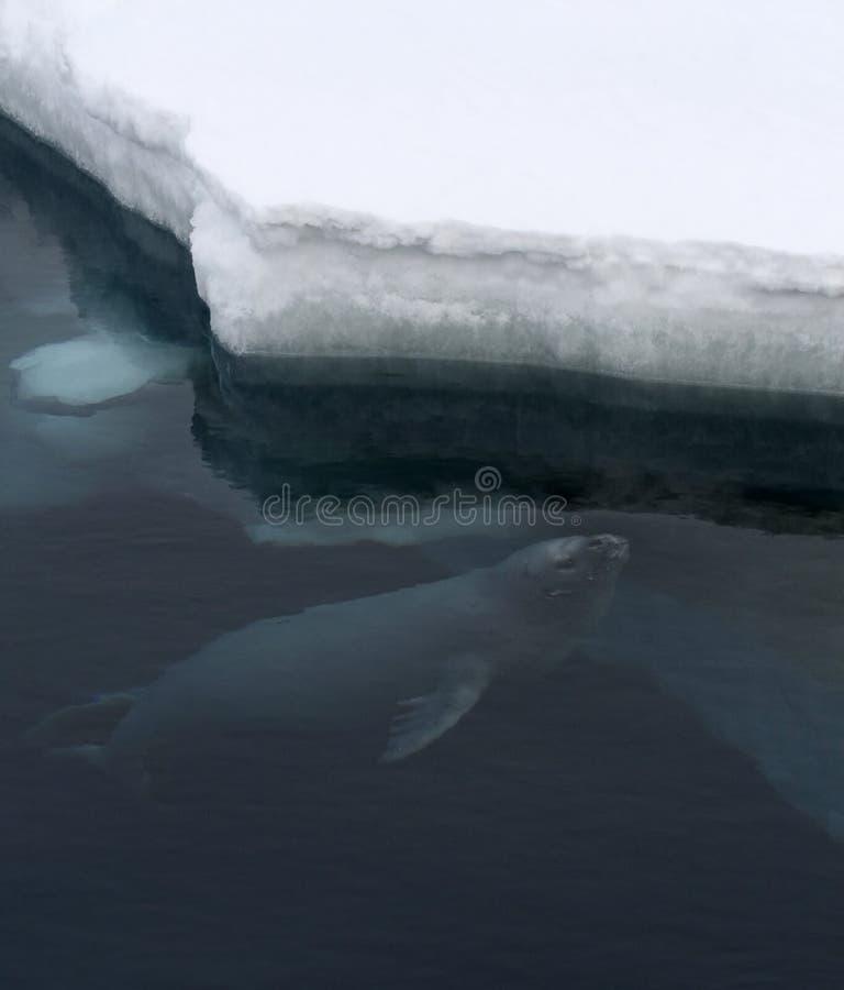 Weddellii Weddell уплотнения Leptonychotes Стоковое Фото