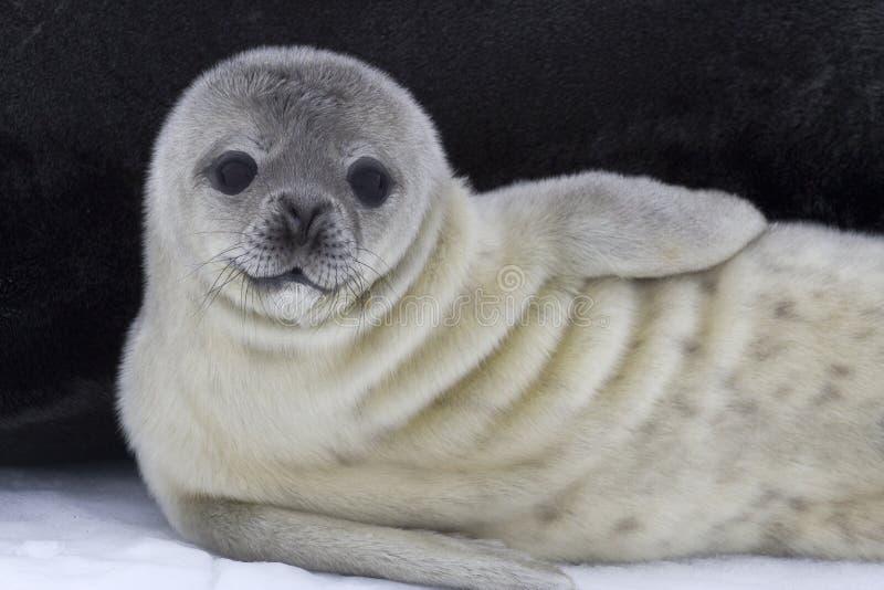 Weddellzeehondejong dichtbij het wijfje op het ijs royalty-vrije stock fotografie