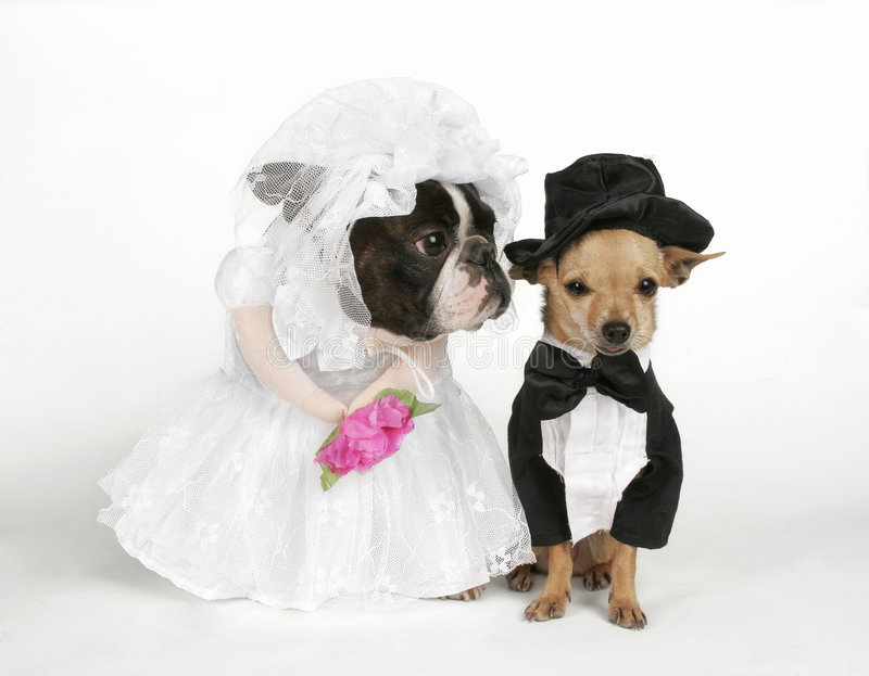 The wedding. Boston terrier and chihuahua in wedding attire stock images