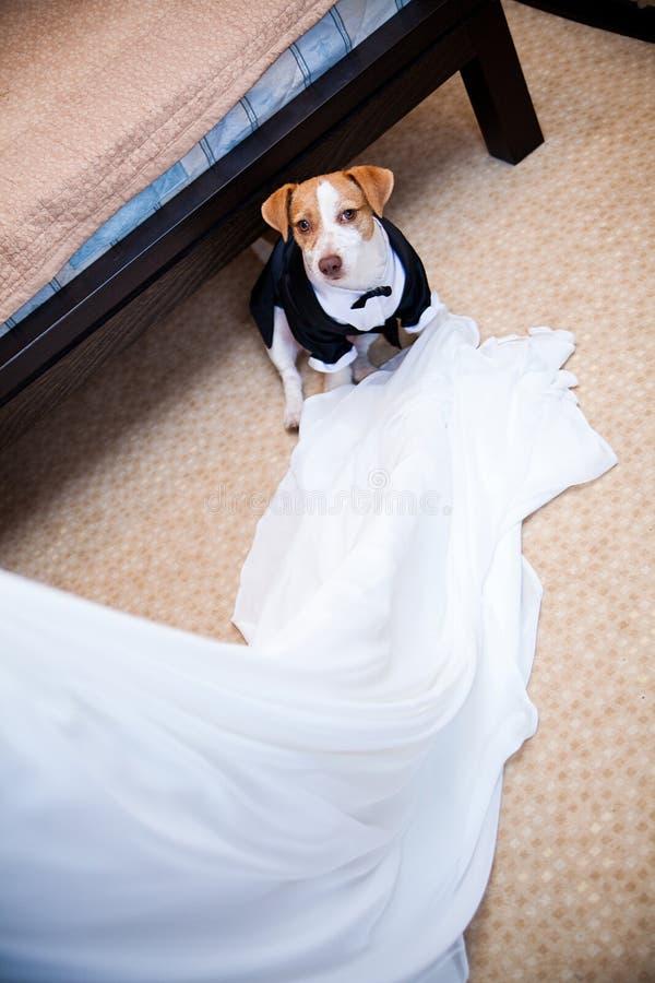 Wedding dog in a coat stock photo